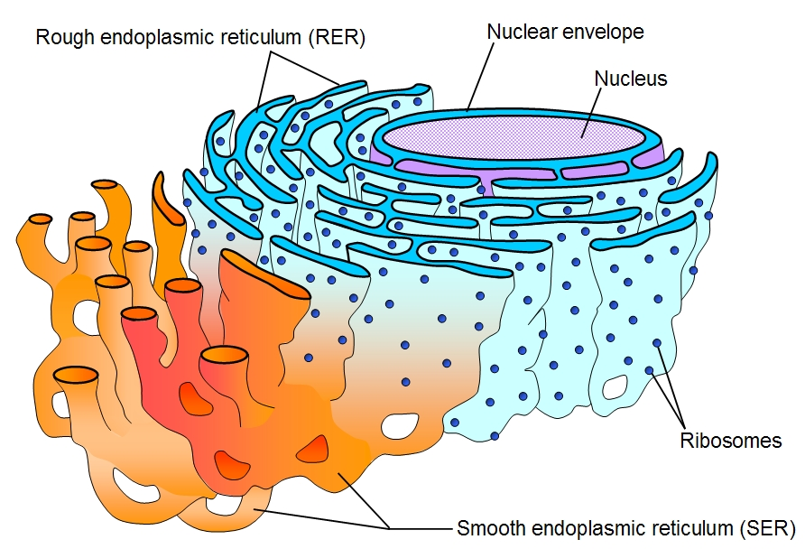external image Cell_ER_labeled.jpg
