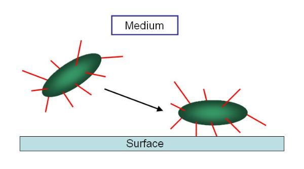 Some bacteria are swarmer cells swimming around by means of flagella