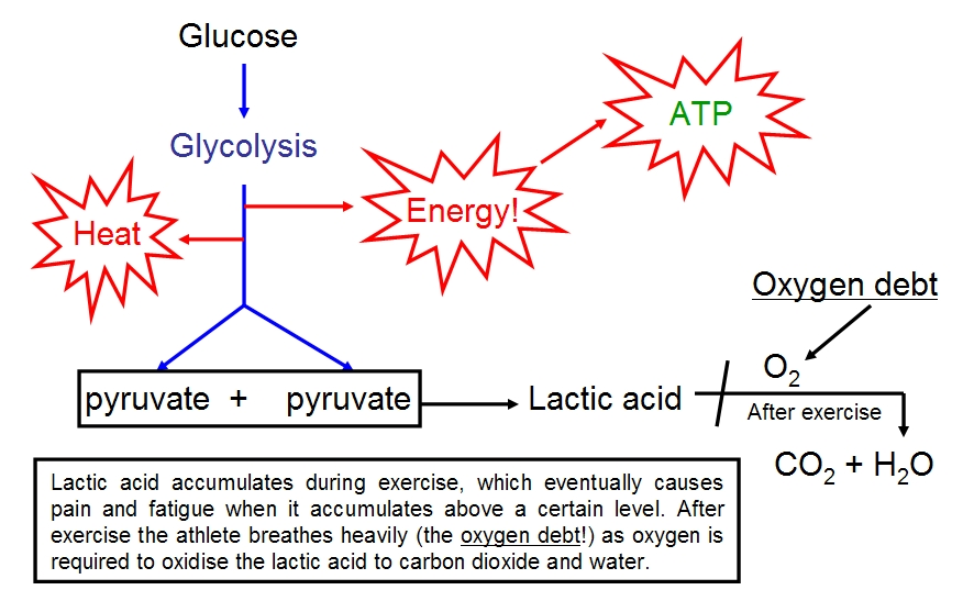 Respiration more detailed though still greatly simplified diagrams of the three main chemical pathways involved in aerobic respiration are given below ccuart Gallery