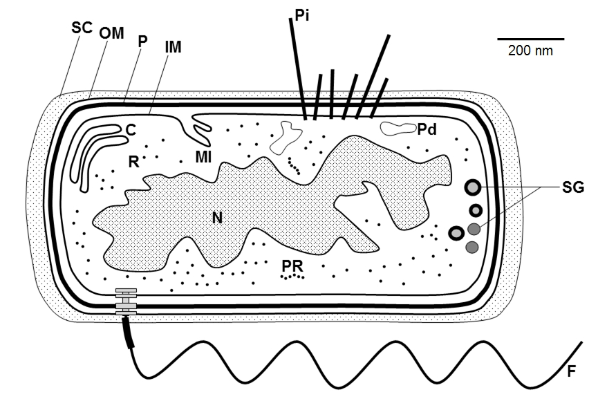 Above a simplified version of the bacterial cell structure diagram