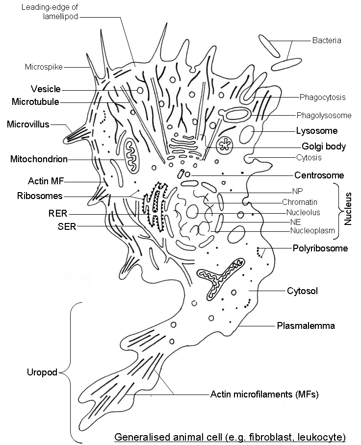 animal cell parts diagram. animal cell organelles diagram