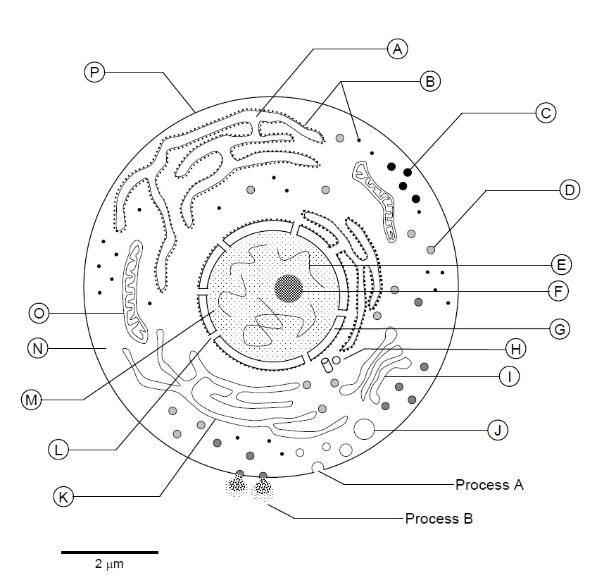 Cell Diagram Labelled