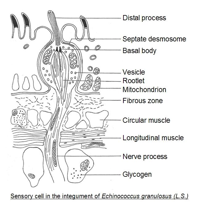 Strobila platyhelminthes, Flatworms, & Rotifers, & Roundworms (Updated) parazitii emotii andre