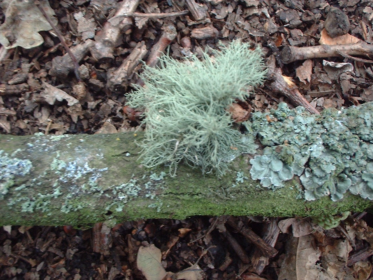 fungus and lichens The relationship between the fungus and the alga in a lichen is an example of mutualism, in which both partners benefit from the partnership (see symbiosis.
