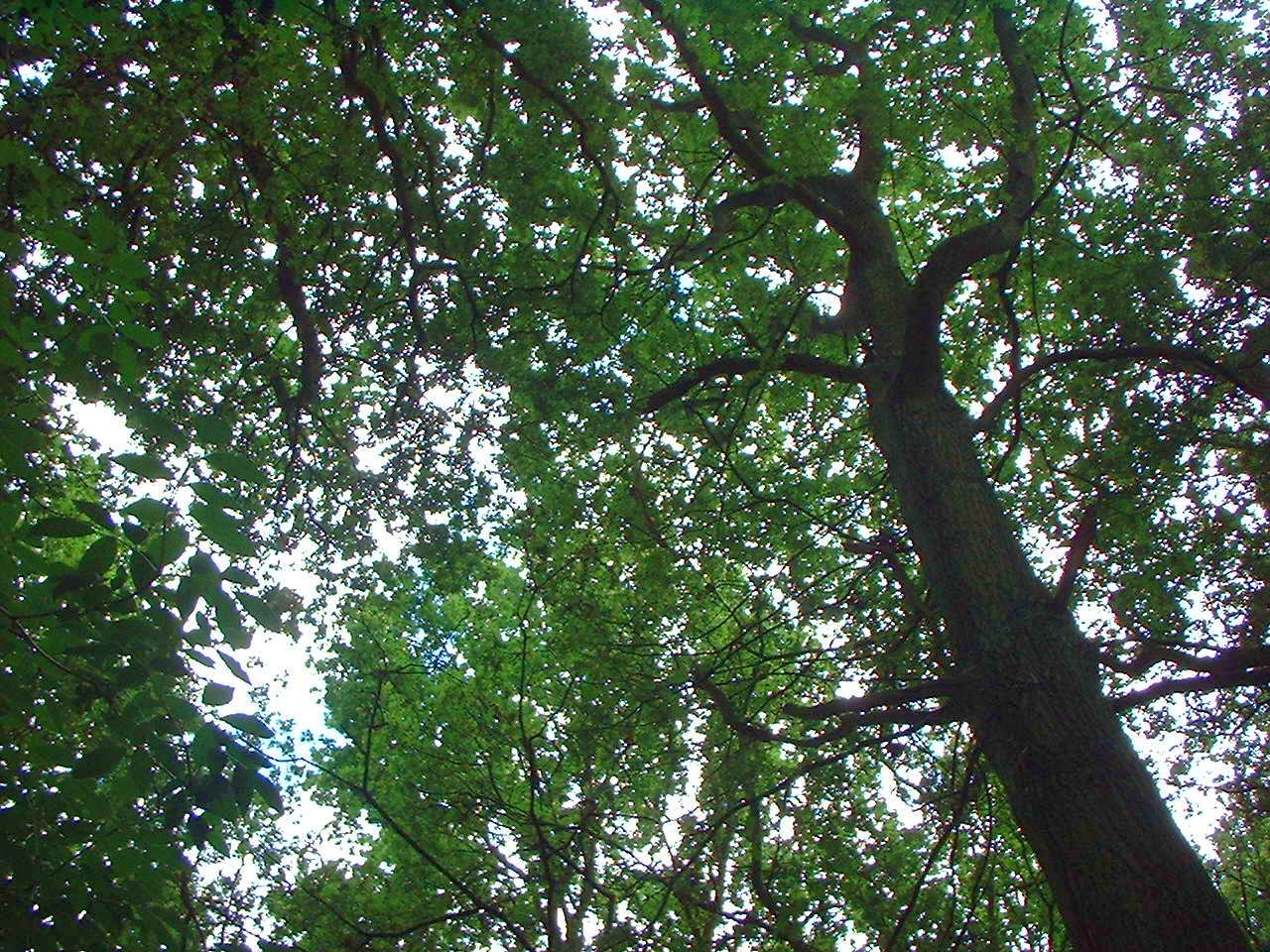 The canopy is the topmost layer of the woodland and is comprised of the leaves of the dominant trees. In these woods these will be mostly oaks ... & Canopy