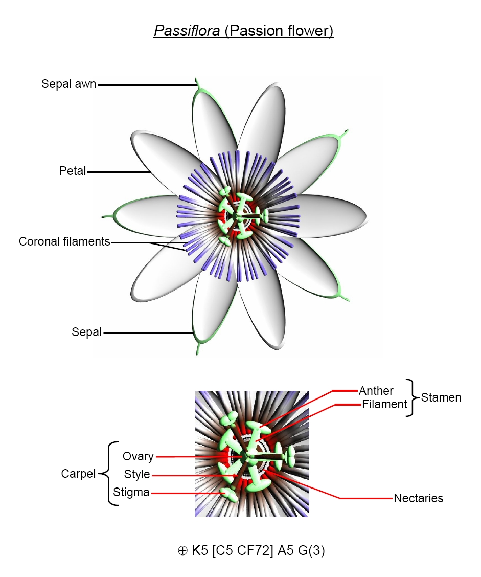 Flower biology passion flower anatomy izmirmasajfo
