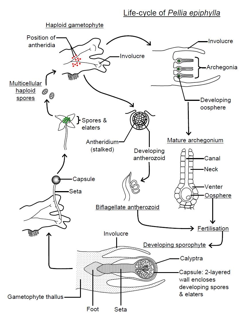 Bryophytes pellia life cycle pooptronica