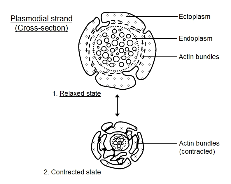 Above a cross-section through  Labelled Diagram Of Plasmodium