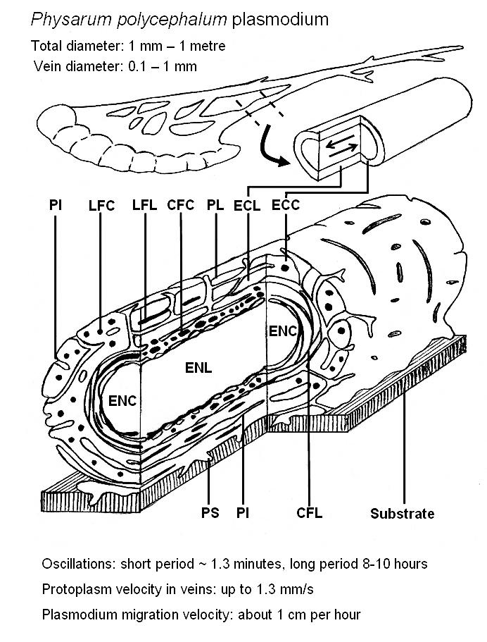 cream-coloured plasmodium   Labelled Diagram Of Plasmodium