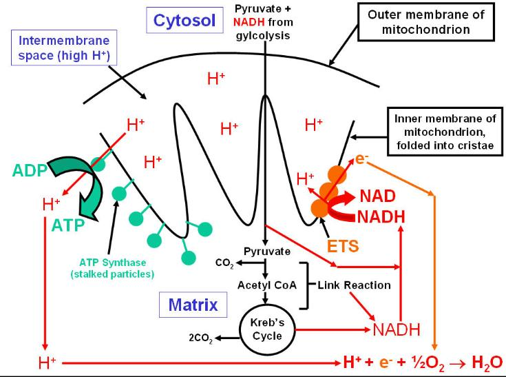 Respiration_overview