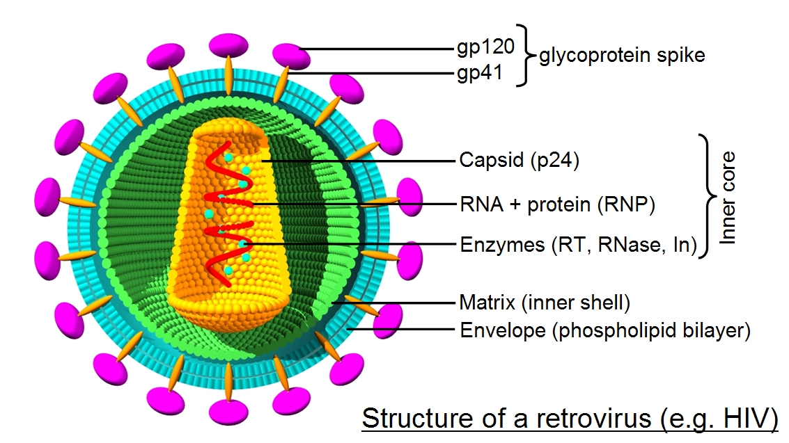 Image result for structure of retrovirus