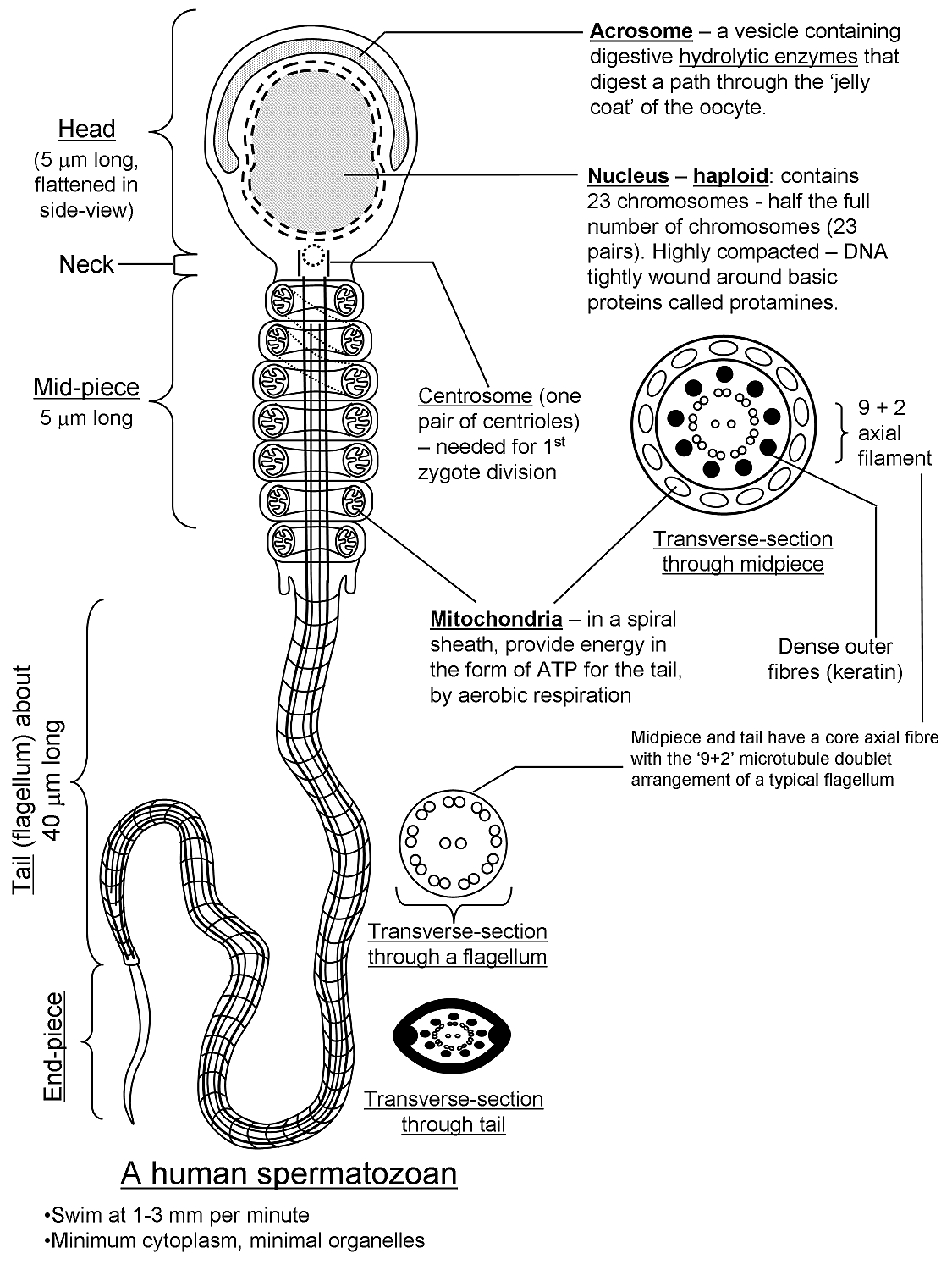 Human Sperm Cells-What are the organelles? Yahoo Answers