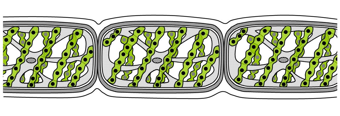 Algae ccuart Images