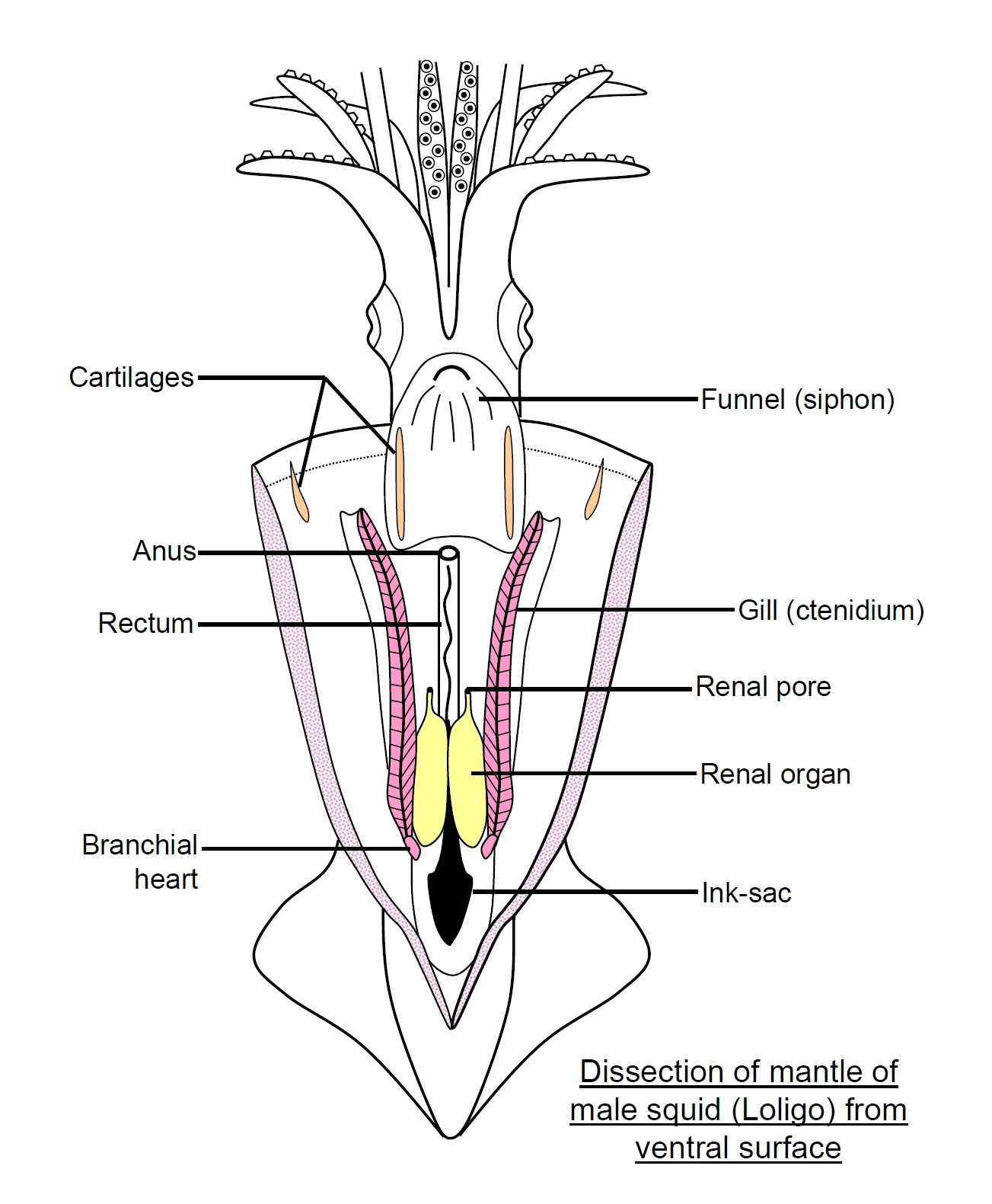 Labeled Squid http://ajilbab.com/frog/frog-dissection-diagram-labeled.htm