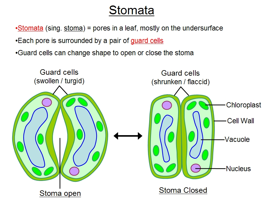 What Is Stomata What Is Its Function Explain Me Details