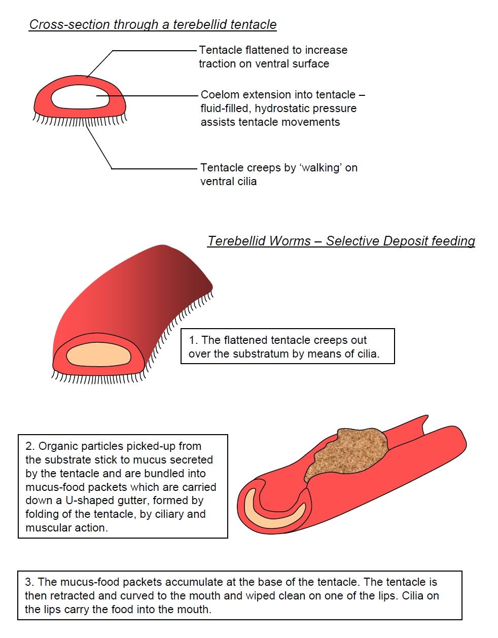 Polychaetes Back Gt Imgs For Snake Skeleton Diagram Terebellid Feeding