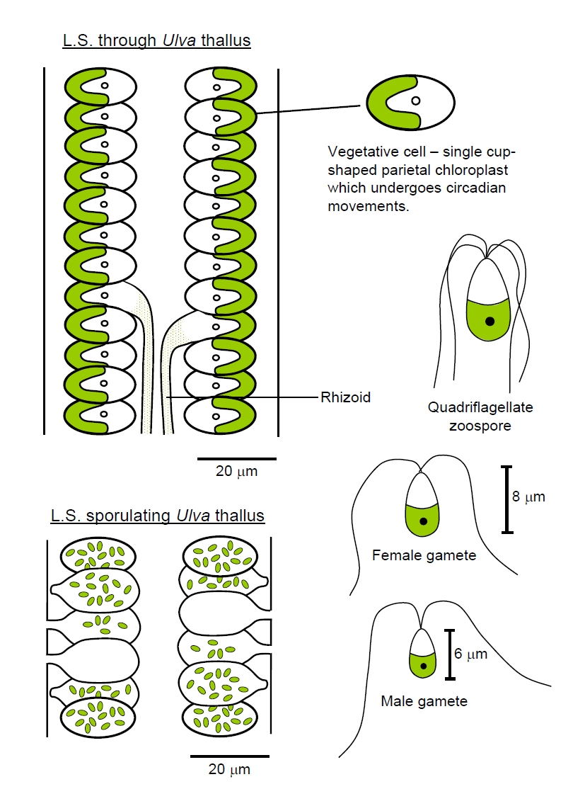 Scenedesmus asexual reproduction definition