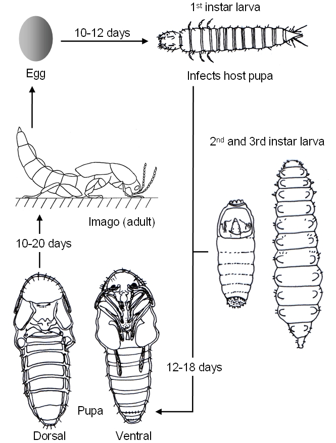 Grasshopper life cycle diagram
