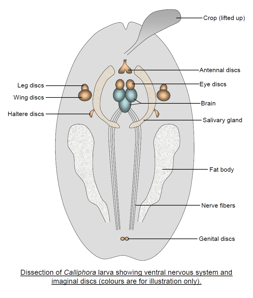 Insect life cycles blowfy dissection diagram pooptronica