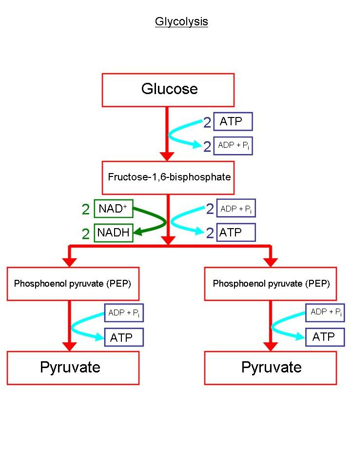simple glycolysis diagram Quotes