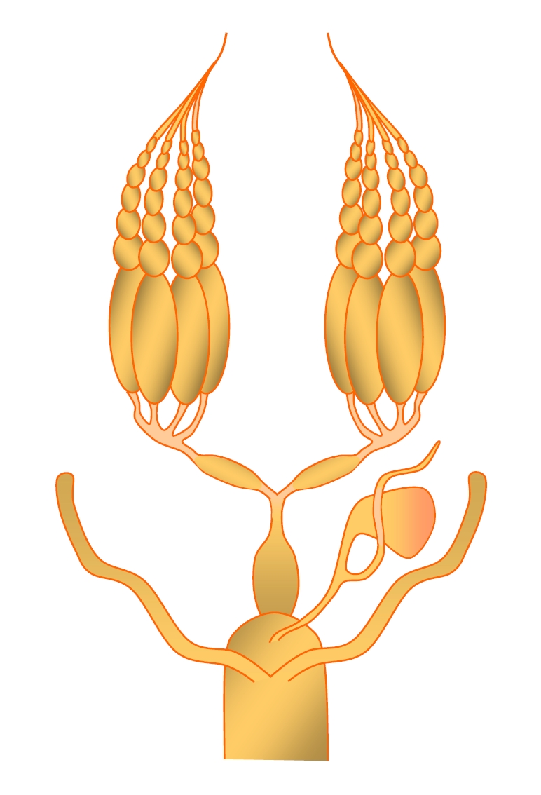 Insectreproduction female insect reproductive system ccuart Image collections