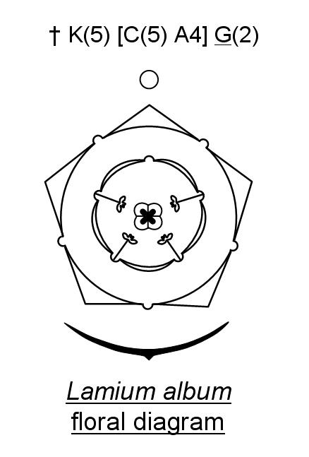 Flower biology urticaceae nettle family ccuart Gallery