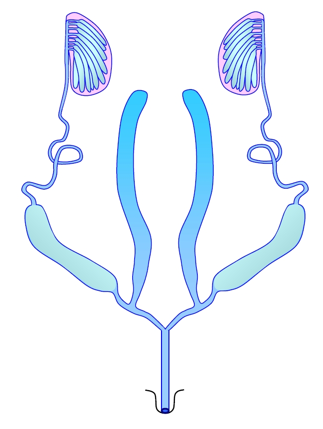 Insectreproduction the male insect reproductive system ccuart Choice Image