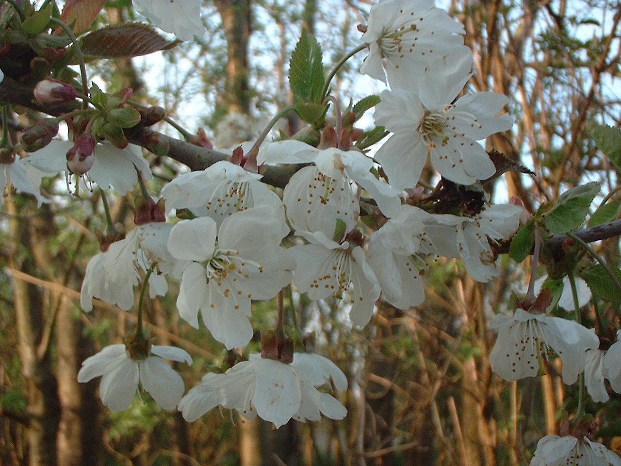 Rowan Family Medicine >> Rosaceae