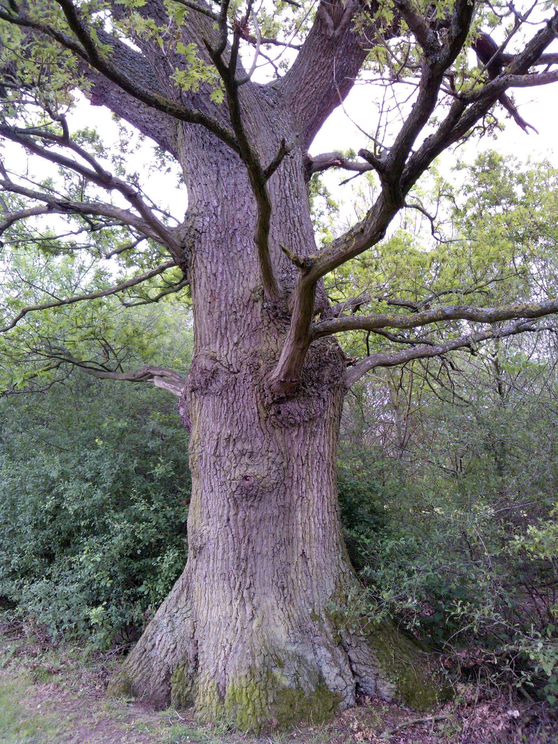 Quercus Robur 10 English Oak 30cm