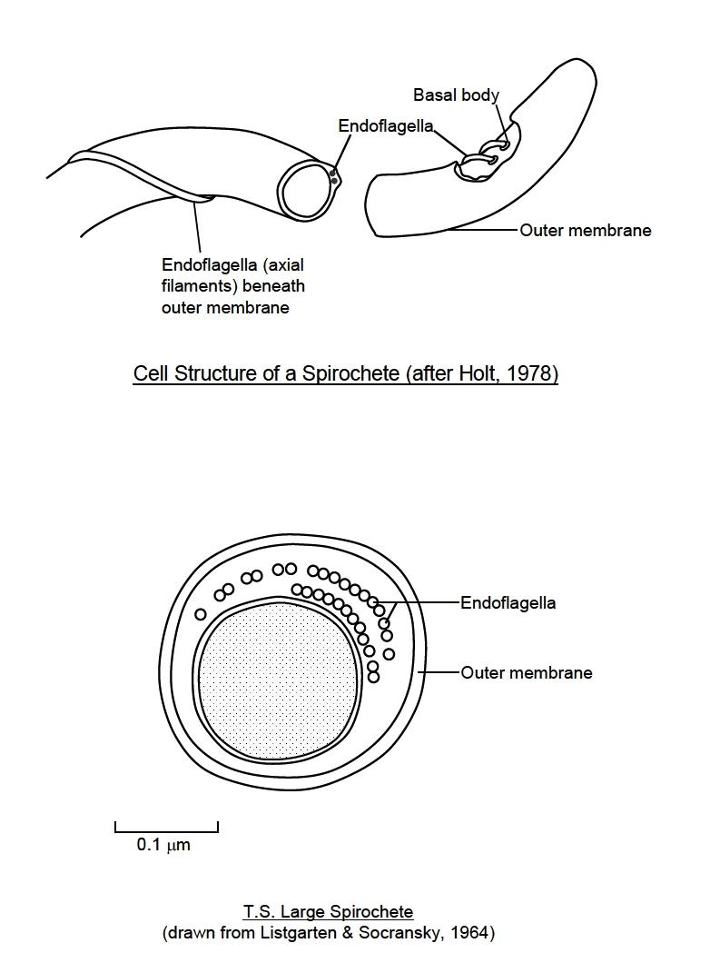 filament sperm axial Diagram