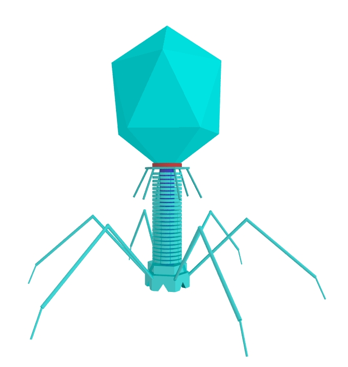 T4 Bacteriophage In Detail