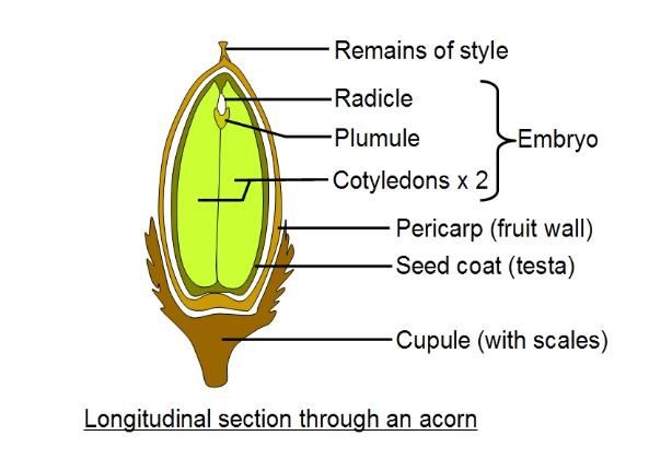 Acorn diagram - section
