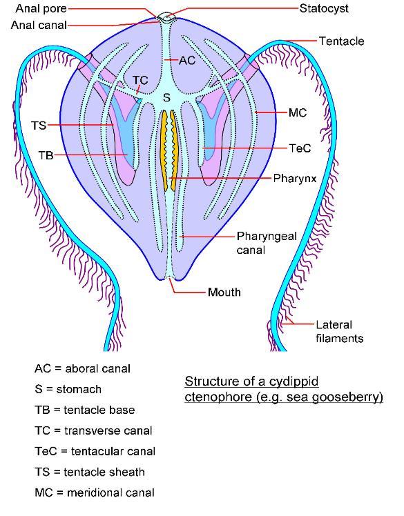 Czeshop Images Planarian Diagram