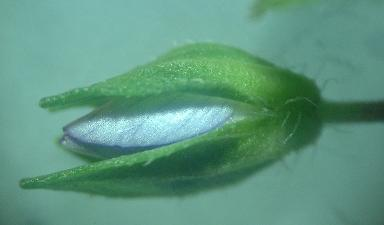 Veronica flower bud
