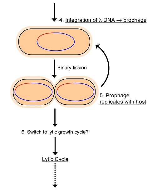 Lysogenic cycle part 2
