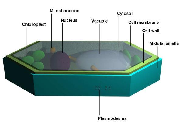 Plant cell labeled