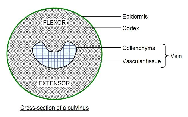 Pulvinus cross-section