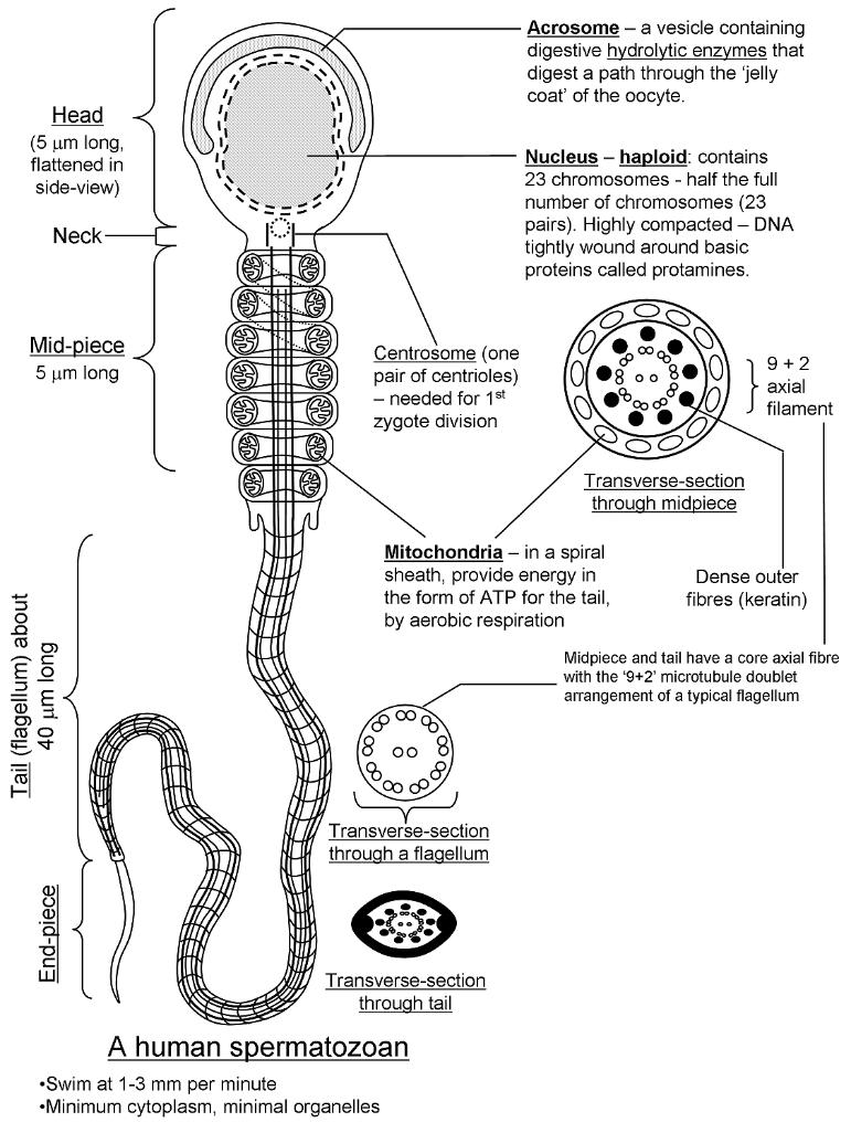 Cell membrane from a sperm cell
