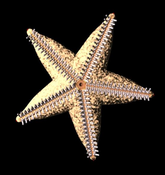 starfish model - oral surface