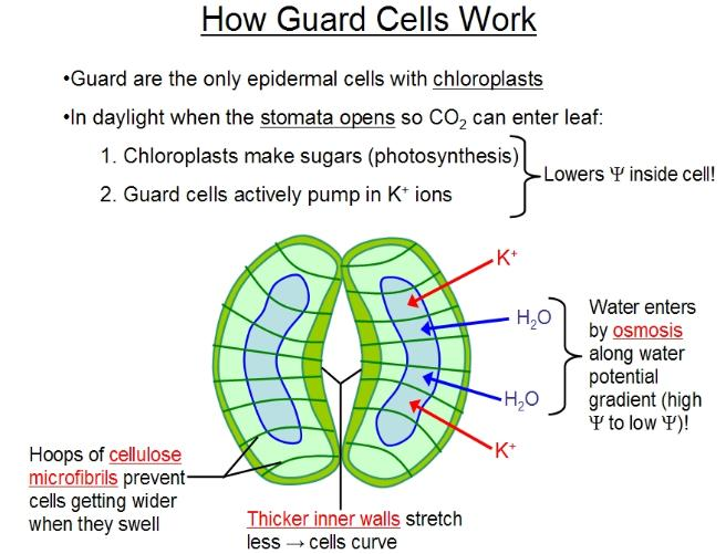 Stomata Diagram How Do Guard Cells Regulate The Opening And Closing