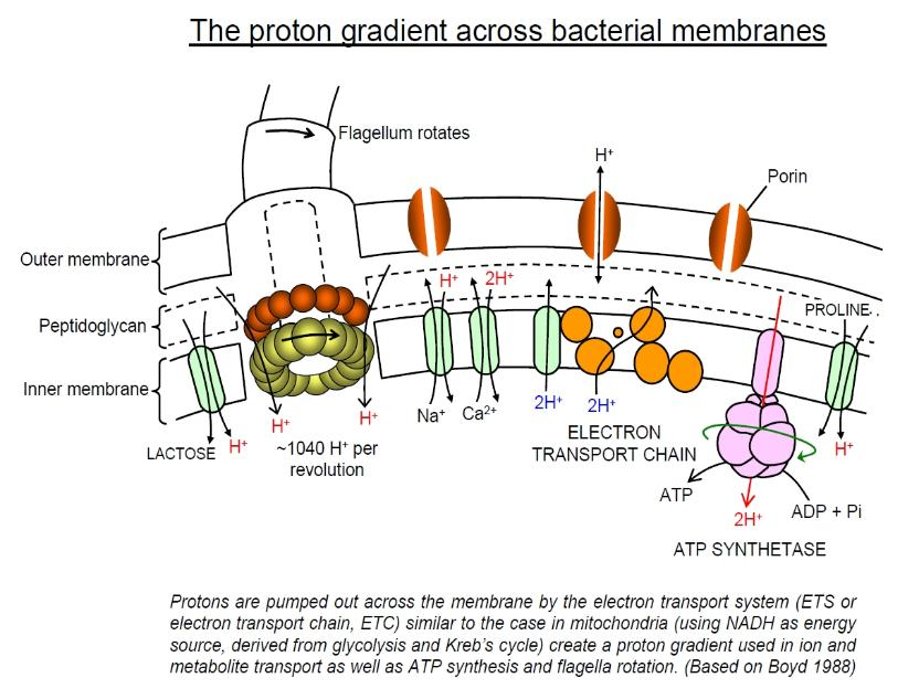 electron and proton transport in the bacterial cell envelope