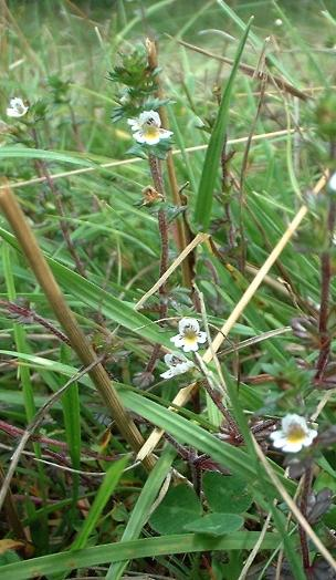 Eyebright, Euphrasia