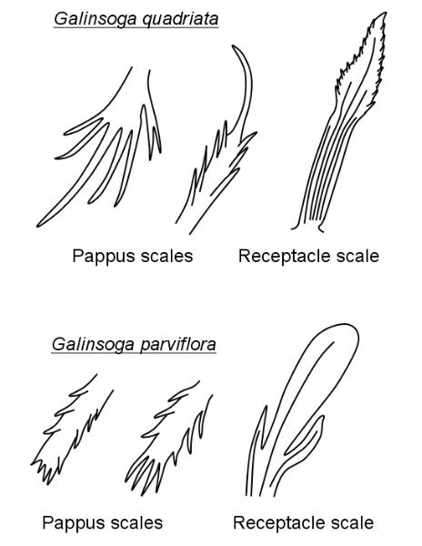 Galinsoga scales