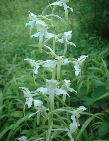 Greater Butterfly-Orchid, Platanthera chlorantha