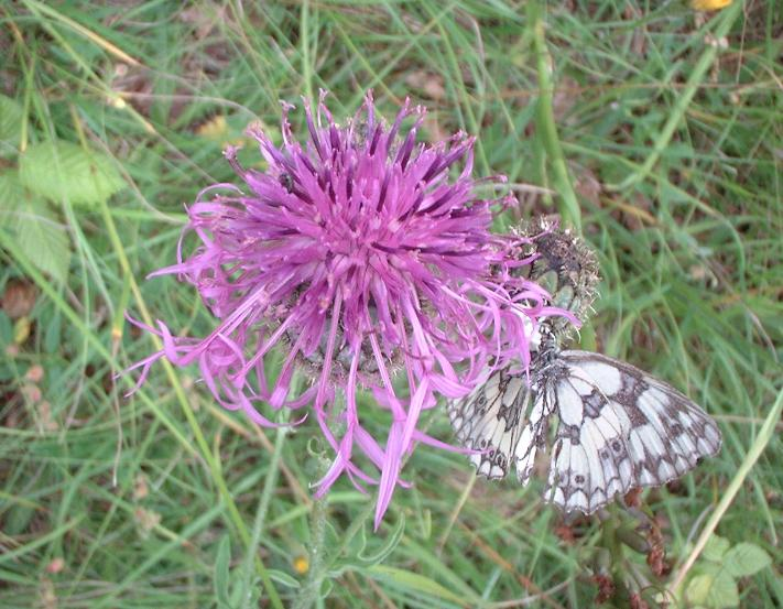 Greater knapweed, Centaurea scabiosa