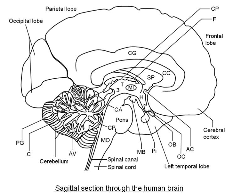 sagittal section of the human brain