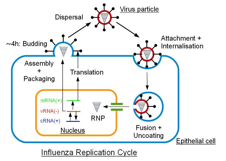 influenza replication cycle