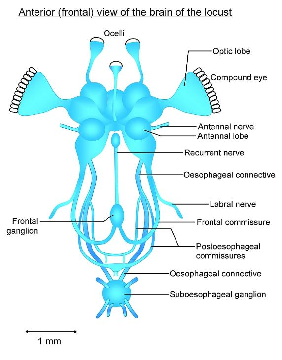 labelled diagram of insect brain