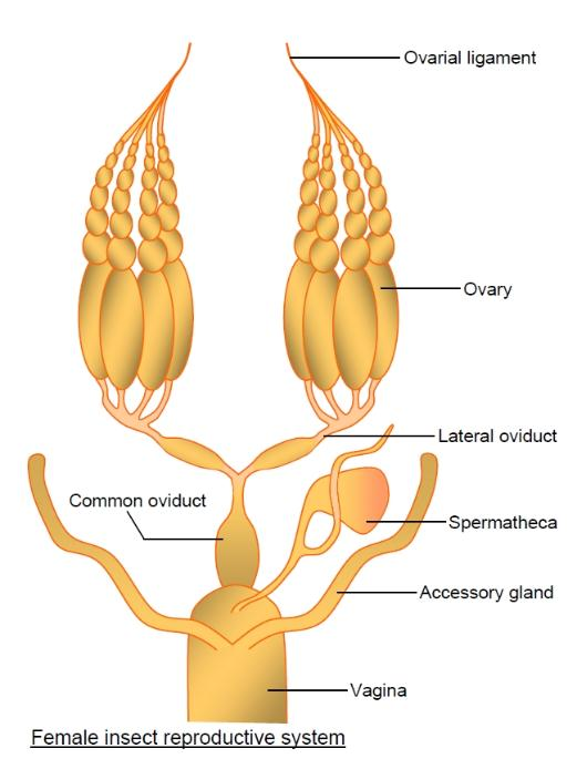 insect female reproductive system with labels