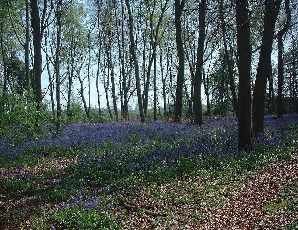 bluebells in Kent